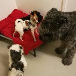 Isot ja pienet koirat sulassa sovussa